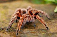 تدريب عنكبوت على القفز عند الطلب لكشف خفايا قدراته البهلوانية الفائقة