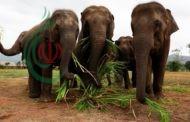 الحيوانات تداوي نفسها بنفسها .. و فيديو لفيلة آسيوية بدت كأنها بصدد التدخين
