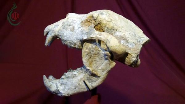 اكتشاف بقايا دب عملاق كان يعيش بالأرجنتين قبل نحو 700 ألف عام