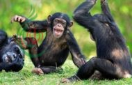 قردة الشامبانزي تنقلب على الطبيعة في ظاهرة غريبة
