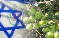 «الديمقراطية»: استيراد الزيتون من إسرائيل انتهاك لقرارات المجلسين الوطني والمركزي وطعنة في ظهر نشطاء حملة المقاطعة( B.D.S)