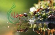 كيف يغضب النمل ..؟ و كيف يتحكم في غضبه ..؟