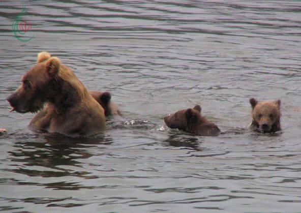 الدب الأم تترك الدياسم المنهكة وحدها في الماء