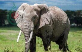 كورونا .. أفيال تايلاند تعود لمسقط رأسها بعد 20 عاماً